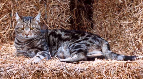 hay-barn-cat