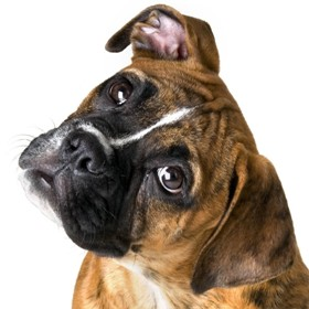 Animals   Dogs Cute boxer on a white background 050482  - Volunteer FAQ