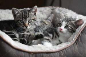 Kittens 300x200 - Adoption Costs