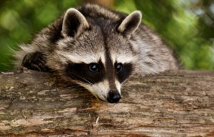 raccoon 3538081 1920 300x192 - Wildlife