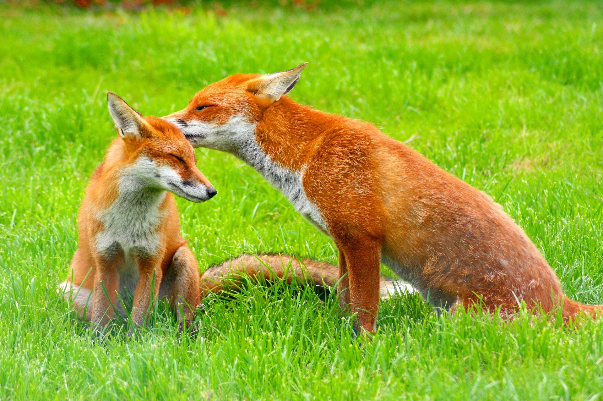 red foxes 3757773 1920 - Wildlife