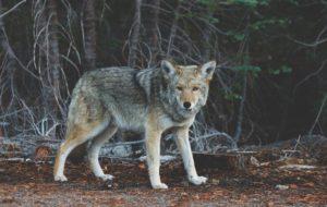 wolf 690102 1920 300x190 - Wildlife