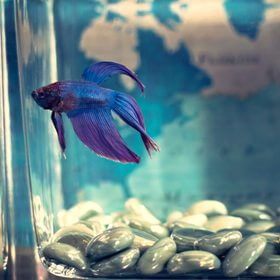 animal aquarium betta fish 942295 - For Teachers