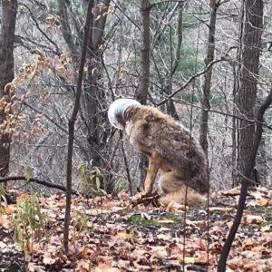 Coyote alone 300x300 - Coyote rescue update