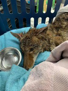 Coyote up close 225x300 - Coyote rescue update
