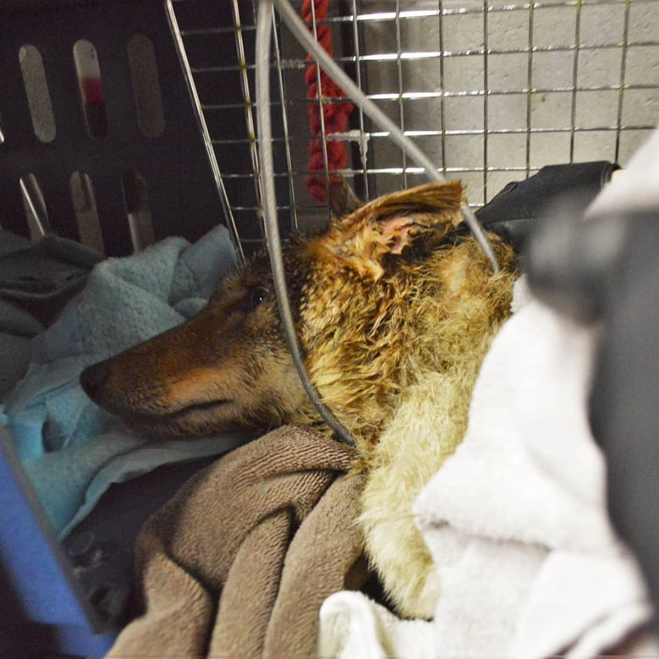 Coyote with bucket removed - Coyote rescue