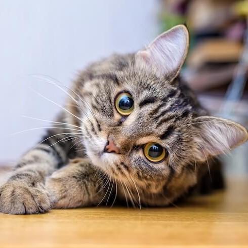 Cute Cat Face - Donate