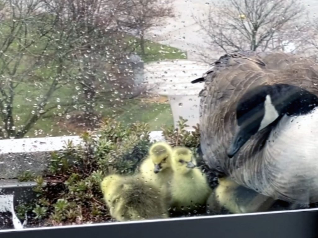 gosling rescue 1024x768 - APS Officer Rescues Goslings from 7th Story Balcony