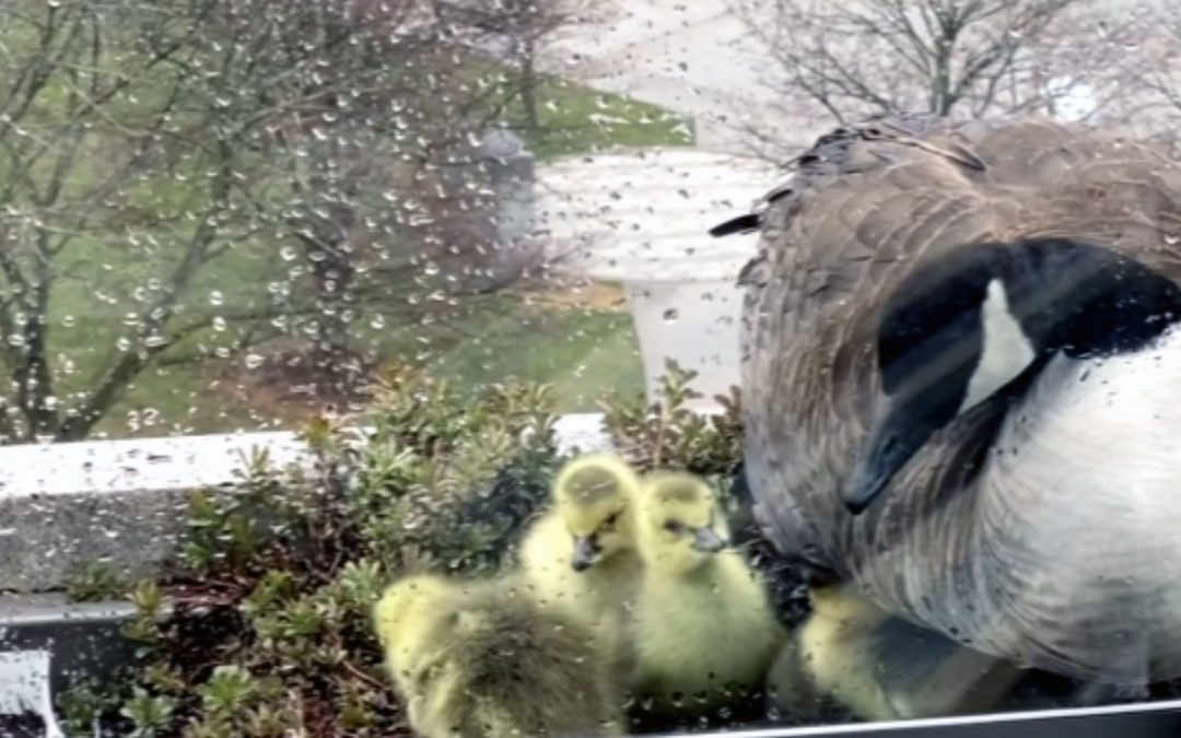 APS Officer Rescues Goslings from 7th Story Balcony
