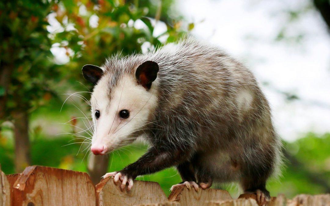 Opossum rescued in Milton