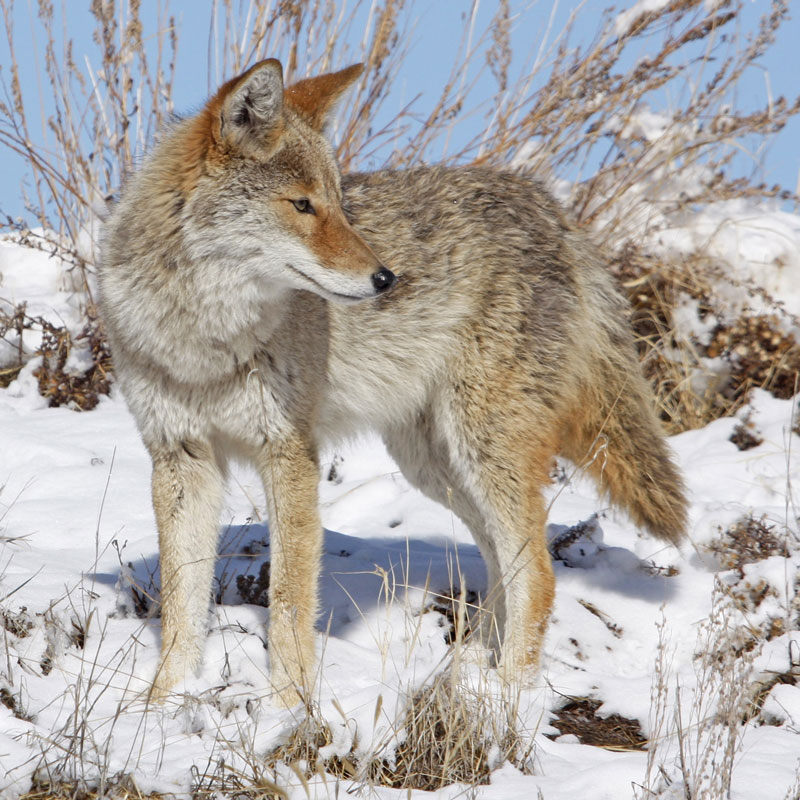 coyote in snow square - Home