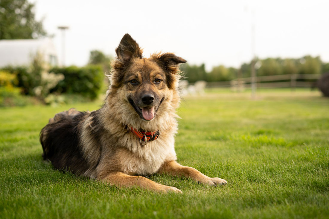 dog shepherd jane duursma - Keeping Pets and Families Together